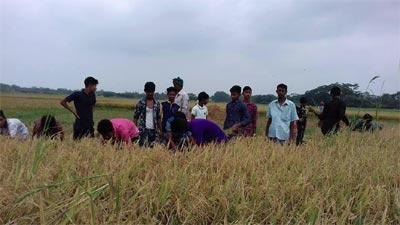 গোসাইরহাটে দরিদ্র কৃষকের ধান কেটে দিলো শিক্ষার্থীরা
