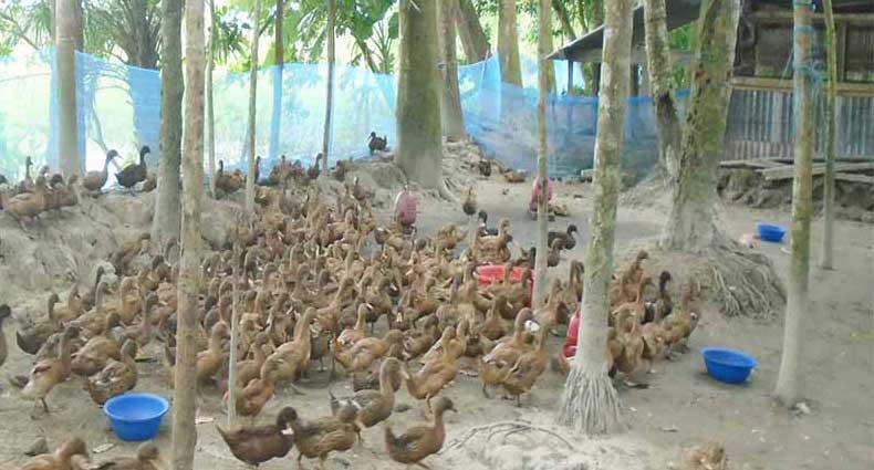 ঝালকাঠির গ্রামীণ জনপদে গড়ে উঠছে হাঁসের খামার