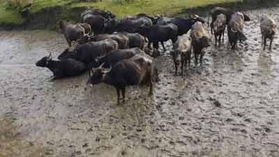 মেঘনায় জেলেদের জালে ধরা পড়লো ২২ মহিষ