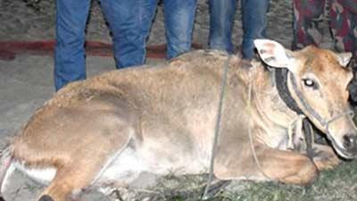 পদ্মা নদীতে ভেসে এলো বিরল প্রজাতির 'নীলগাই'