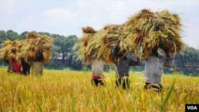 করোনা সংকটেও কক্সবাজারে বোরো ধানের বাম্পার ফলন