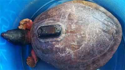 স্যাটেলাইট যন্ত্রযুক্ত কচ্ছপ উদ্ধার