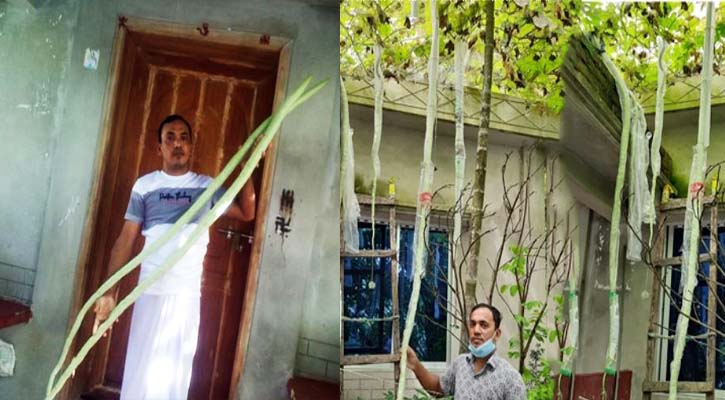 বাড়ির আঙিনায় ১০ ফুট লম্বা চিচিঙ্গা
