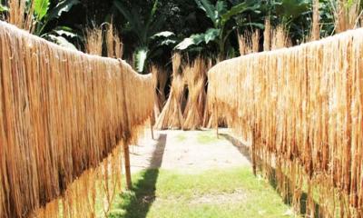 লক্ষ্যমাত্রার বেশি উৎপাদন পাট, দামে কৃষকে মুখে হাসি