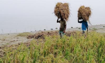 লেদা পোকার আক্রমণে আধা-পাকা ধান কেটে ঘরে তুলছে কৃষক
