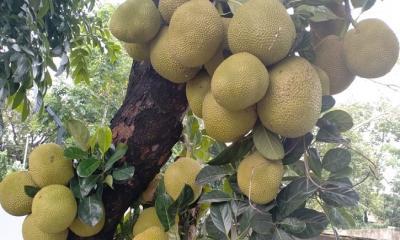 খাদ্যসংকট মোকাবিলায় জাতীয় ফল কাঁঠাল