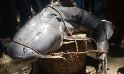 ৫২ কেজির বাঘাআড়াইর মাছ বিক্রি হল অর্ধলাখ টাকায়