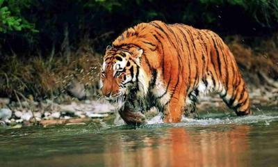 বাঘের থাবায় নিহত ২ বাংলাদেশির লাশ ভাসছে ভারতের নদীতে