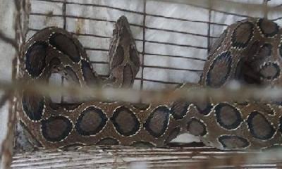 মাছ ধরতে গিয়ে মিলল বিষধর সাপ রাসেল ভাইপার