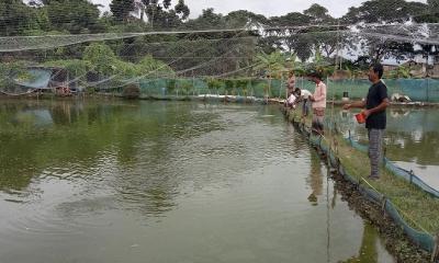 প্রশিক্ষণ ছাড়াই আধুনিক প্রযুক্তিতে দেশীয় শিং মাছ চাষ
