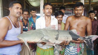দৌলতদিয়ায় পদ্মায় জেলের জালে ৩৪ কেজি বাঘাইড় মাছ