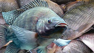 বাংলাদেশে উৎপাদিত তেলাপিয়া মাছ শতভাগ নিরাপদ!
