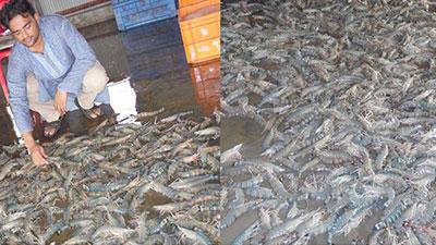 পাইকগাছায় আধানিবিড় পদ্ধতিতেচিংড়ি চাষে রের্কড