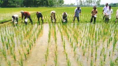 সিরাজগঞ্জে বোরো আবাদে ব্যস্ত কৃষকরা