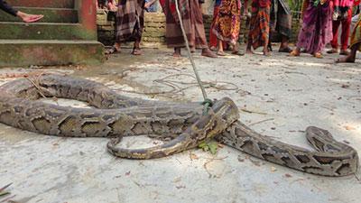 পিরোজপুরে ১৫ ফুট লম্বা অজগর সাপ উদ্ধার