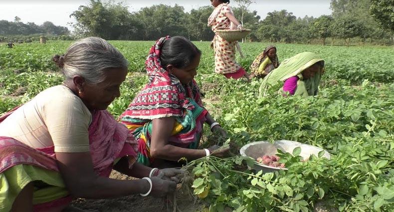 আলুর বাম্পার ফলন : কৃষক নয়, লাভবান মধ্যস্বত্বভোগীরা