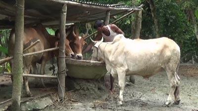 গরু মোটাতাজা করণে ব্যস্ত ভোলার খামারিরা