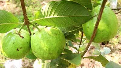 থাই পেয়ারার বাম্পার ফলন