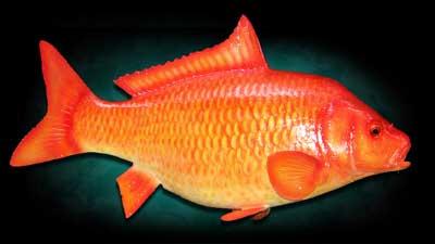 পুকুরে মাছ চাষের আধুনিক কৌশল (ভিডিও)