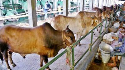দেশি পশুতেই মিটবে কোরবানির চাহিদা