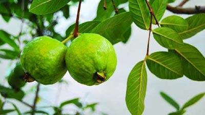 সুস্বাদুই নয়, পুষ্টিগুণেও ভরপুর পেয়ারা