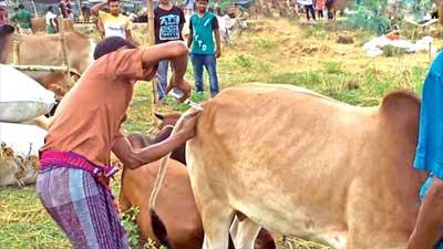 ওষুধে মোটা হচ্ছে কোরবানির গরু