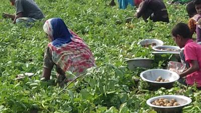 নীলফামারীতে আগাম জাতের আলু উত্তোলনে ব্যস্ত কৃষকরা